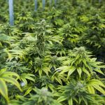 What is Hybrid Marijuana and Where do the Strains Come From?